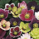 miniature Helleborus Winter Trillers Mix