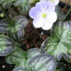 Photo miniature Hepatica nobilis pico strains