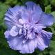 miniature Hibiscus Lavender Chiffon