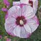 miniature Hibiscus Cherry Cheesecake