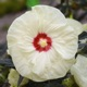miniature Hibiscus French Vanilla