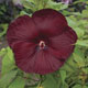 miniature Hibiscus Heartthrob