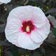 miniature Hibiscus Mocha Moon