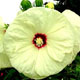 miniature Hibiscus Old Yella