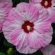 miniature Hibiscus Spinderella