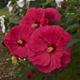 miniature Hibiscus Summer in Paradise