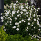 miniature Hibiscus White Chiffon