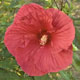 miniature Hibiscus Sultry Kiss 