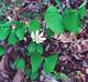 Photo miniature Jeffersonia diphylla