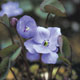 Photo miniature Jeffersonia dubia