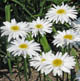 miniature Leucanthemum Thomas Killen