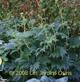 miniature Ligularia japonica