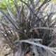 miniature Ophiopogon Nigrescens
