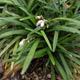 miniature Ophiopogon japonicus