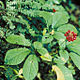 Photo miniature Panax quinquefolius