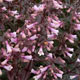 miniature Penstemon Dark Towers