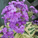 miniature phlox Shockwave