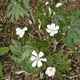 Photo miniature Podophyllum hexandrum majus