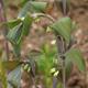 miniature Polygonatum hybridum Betberg