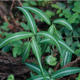 miniature Polygonatum Silver Striped