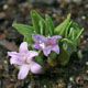 miniature polygonatum hookeri