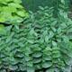 miniature Polygonatum humile