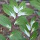 miniature Polygonatum odoratum Byakko