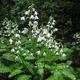 miniature Pteridophyllum Racemosum