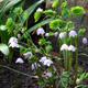 Photo miniature Ranzania japonica
