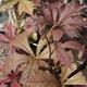miniature Rodgersia podophylla Bloddy Wheels