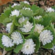 Photo miniature Sanguinaria multiplex
