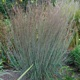 miniature Schizachyrium Blue Heaven