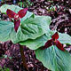 Photo miniature Trillium apetalon