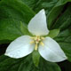 Photo miniature Trillium camchatcense