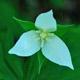 Photo miniature Trillium flexipes