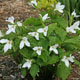 Photo miniature Trillium grandiflorum
