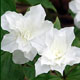 Photo miniature Trillium grandiflorum plenum