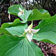 Photo miniature Trillium tschonoskii