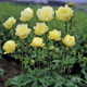 miniature Trollius New Moon