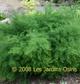 miniature Asparagus tenuifolia