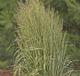miniature calamagrostis Avalanche