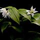 Photo miniature Disporum smilacina Double Flower