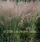 miniature calamagrostis overdam