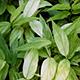 Photo miniature Zingiber mioga Silver Arrow