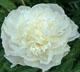 miniature Camellia White