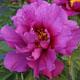 miniature Morning Lilac