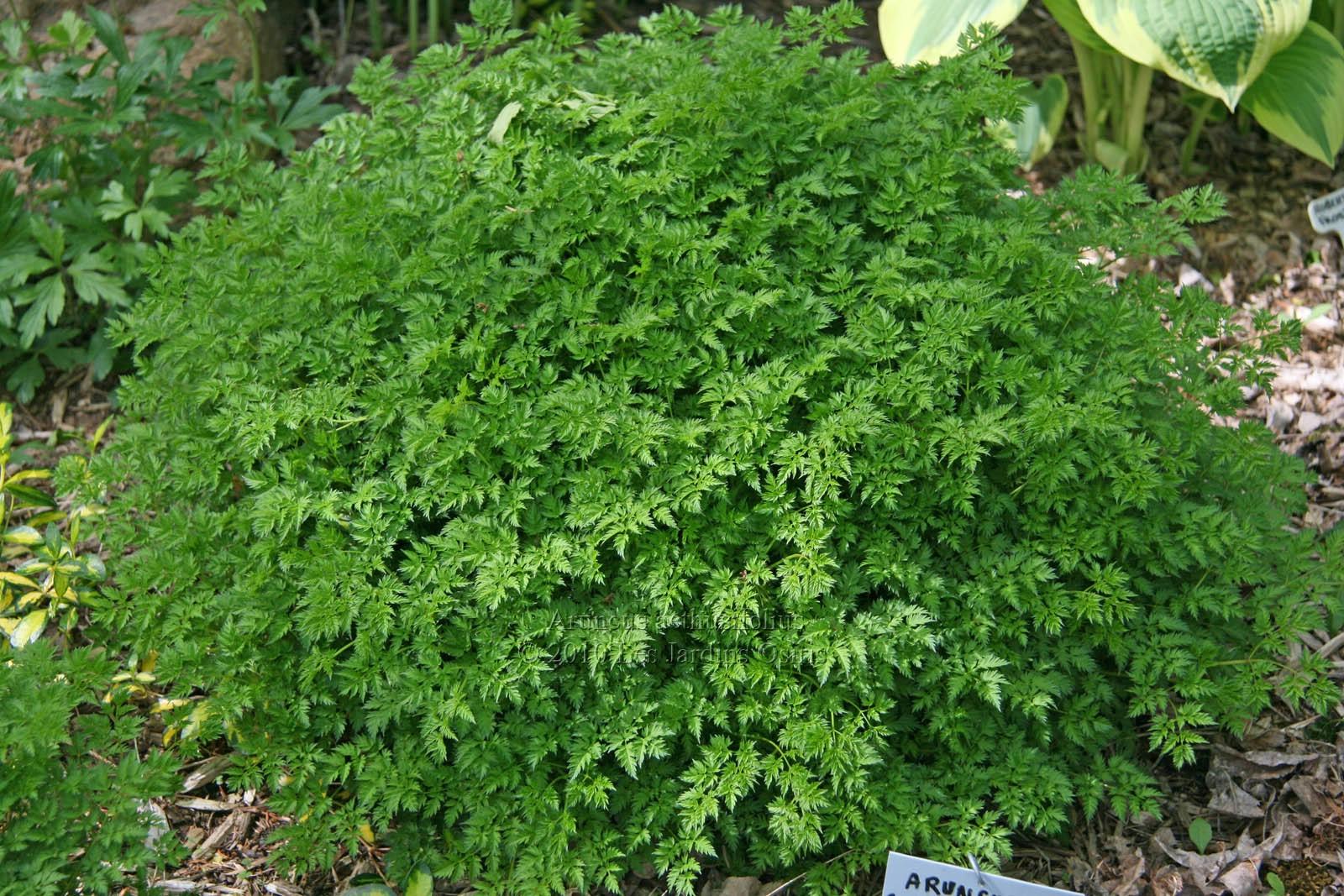 Les jardins osiris plantes de sous bois for Plante exterieur plumeau