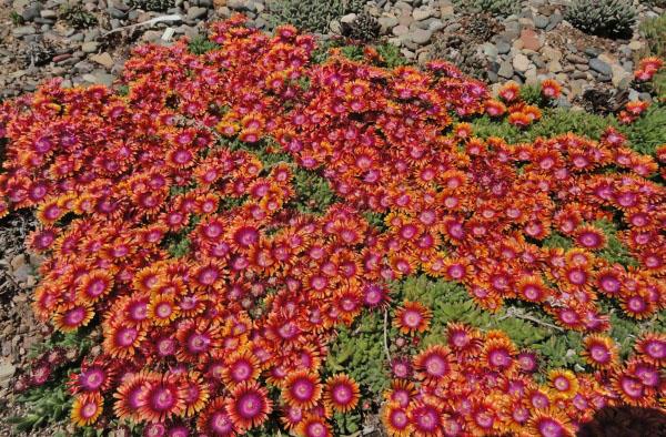 Les jardins osiris vivaces a i - Vivace couvre sol longue floraison ...