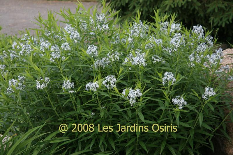 Amsonia Tabernaemontana Salicifolia Amsonia Salicifolia Fleur Bleu
