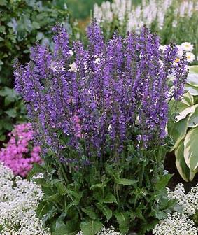 Les jardins osiris vivaces a h - Fleurs vivaces longue floraison ...